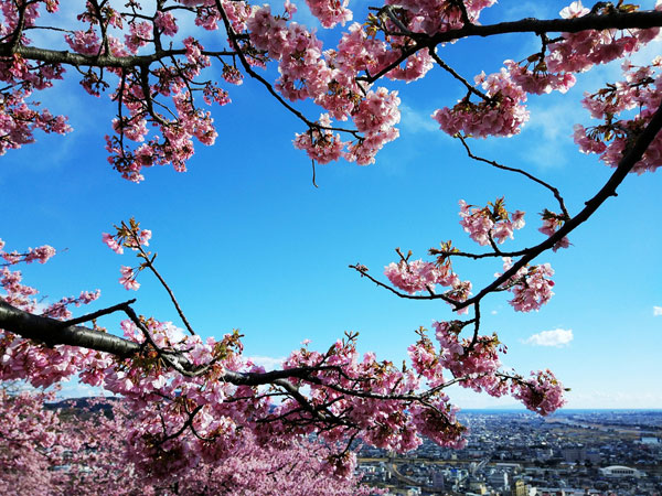 Early flowering cherry blossoms dazzle in Japan
