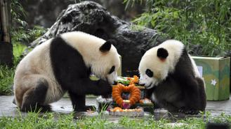 Panda twins Bingbing and Qingqing turned two on Aug 18, 2017.