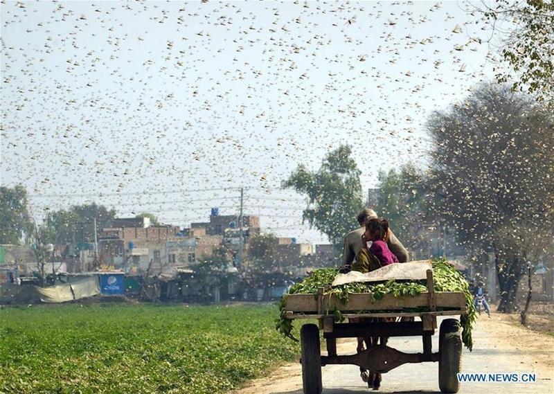 China helps Pakistan tackle locust plague   Nation   China ...